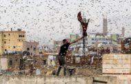 عن موجات الجراد القادم من السعودية عبر الأردن | الرياح تؤخر وصوله !!